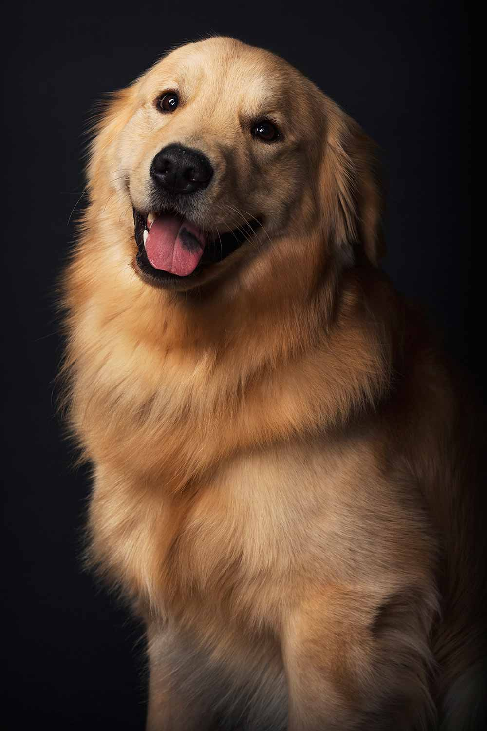 Richboro veterinary hospital golden retriever